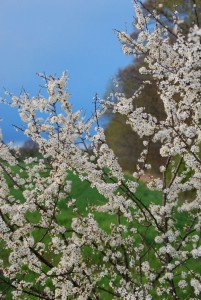 Hvidbusk